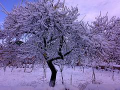 Almendros nevados